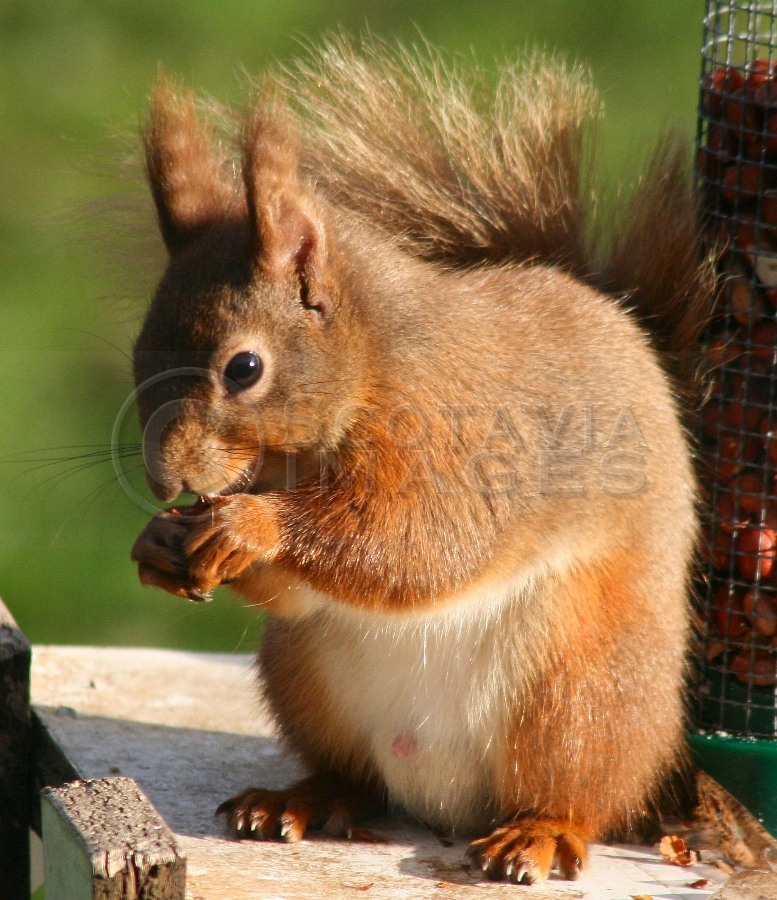 Wildlife photography Red Squirrel at feeder